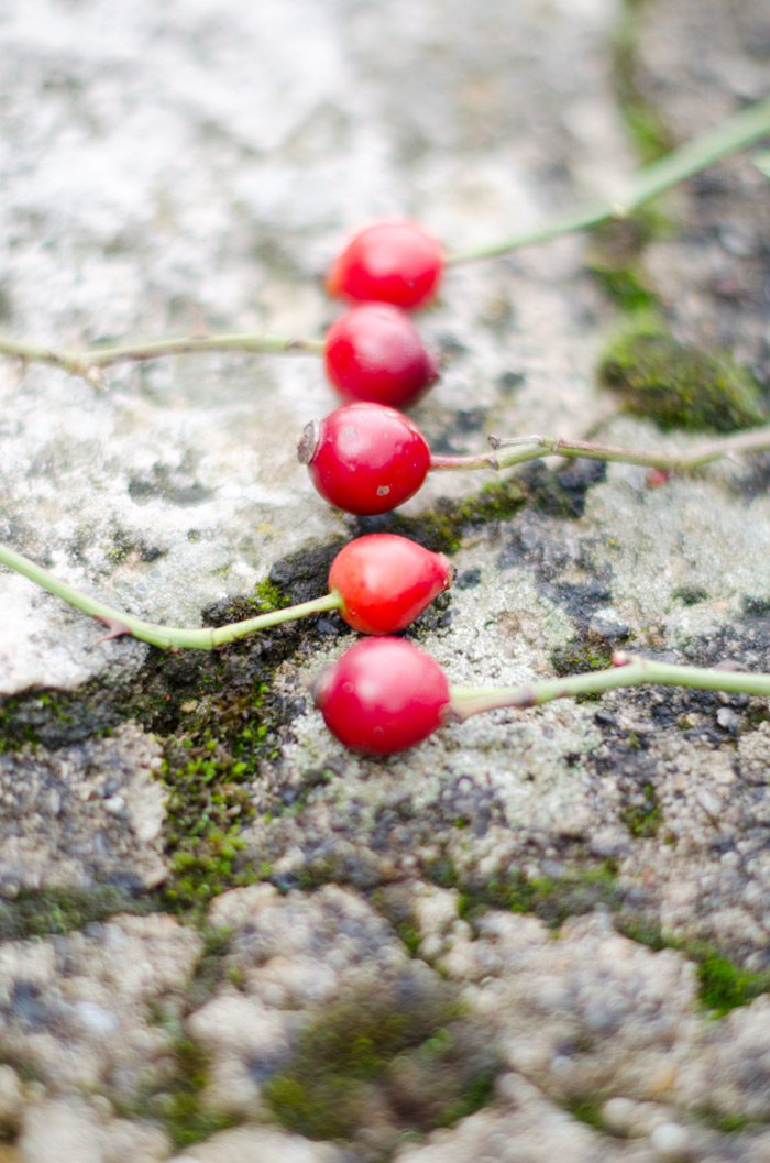 bayas rojas de otoño